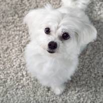 Puppy on Carpet | Lake Forest Flooring